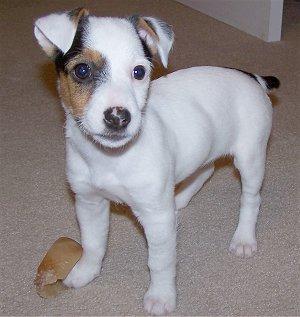 Parson y Jack Russel Terrier