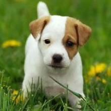 Los perros de la raza Parson Russel Terrier