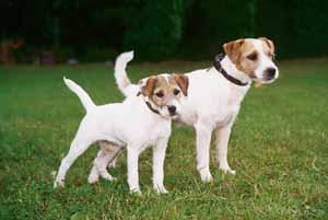 Perros de la raza Parson Russel Terrier
