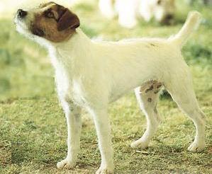 Los perros de la raza Parson Jack Russel Terrier