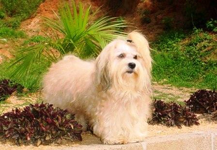 El baño del perro Bichón Maltés
