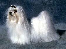 Perros de la raza Bichón Maltés
