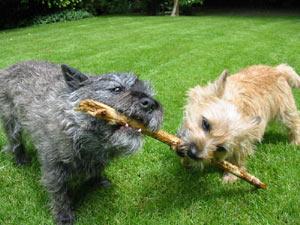 Los perros de la raza Cairn Terrier