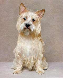 Perros de la raza Cairn Terrier