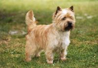 Perros Cairn Terrier