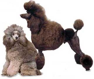 Fotos de perros Caniche