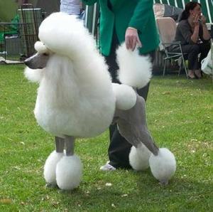 El pedigrí canino