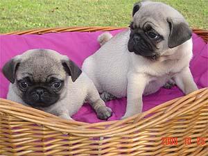 Los cachorros de perros Carlino
