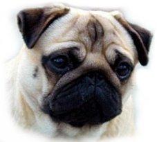 El perro Carlino