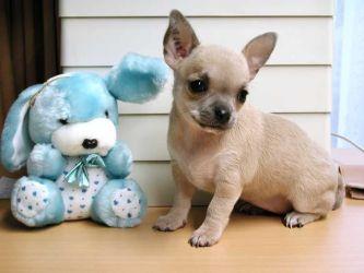 Chihuahua, el perro más pequeño