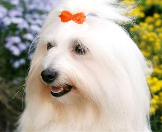 Los perros de la raza Cotón de Tulear