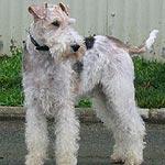 Los perros de la raza Fox Terrier