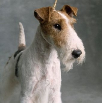 wire_fox_terrier_10.jpg