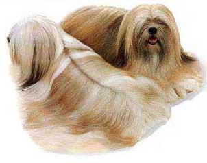 Los perros de la raza Lhaso Apso