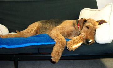 airedale-terrier2.jpg