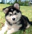 Cachorro de Malamute de Alaska