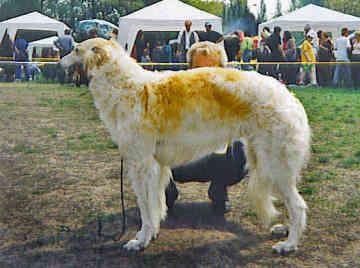 Perros de la raza Borzoi
