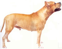 Perro Staffordshire