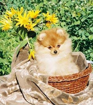 Fotos de perros de la raza Pomerania